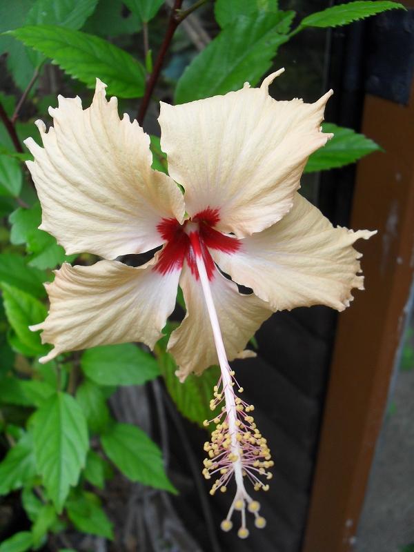 hibiscus hibiskus eibisch k belpflanzensortiment zaubergarten der d fte cordula felgner. Black Bedroom Furniture Sets. Home Design Ideas