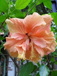 hibiscus hibiskus eibisch fotos fotogalerie zaubergarten. Black Bedroom Furniture Sets. Home Design Ideas
